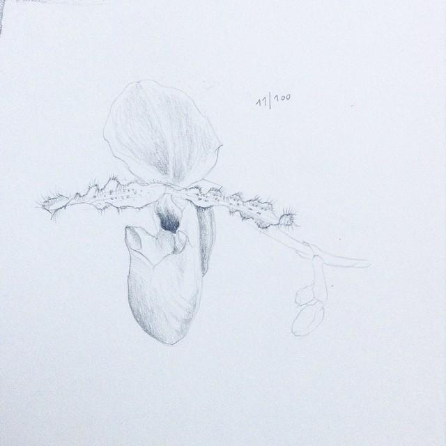 sabot de venus pencil drawing