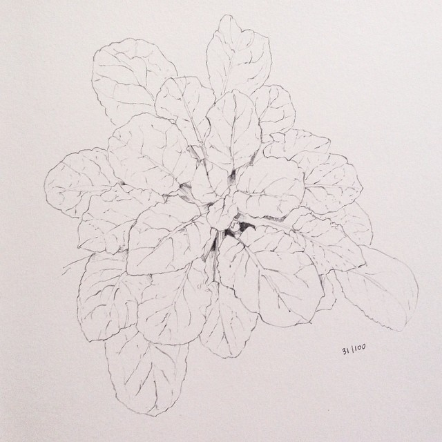 african violet pencil drawing