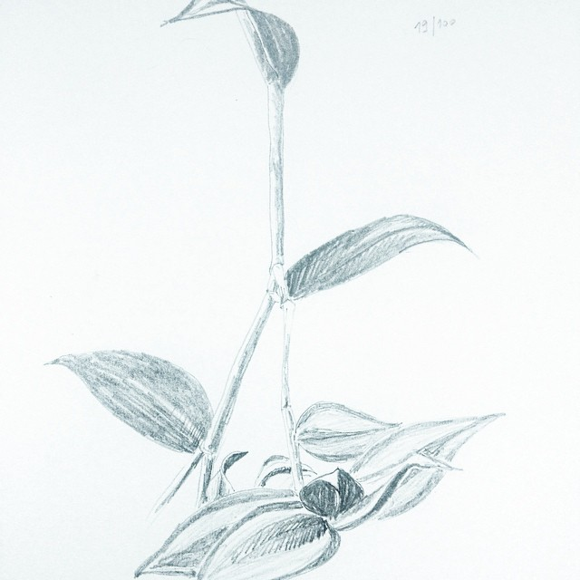 tradescantia zebrina pencil drawing