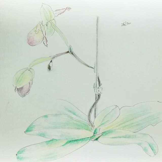 lady slipper orchid color pencil drawing