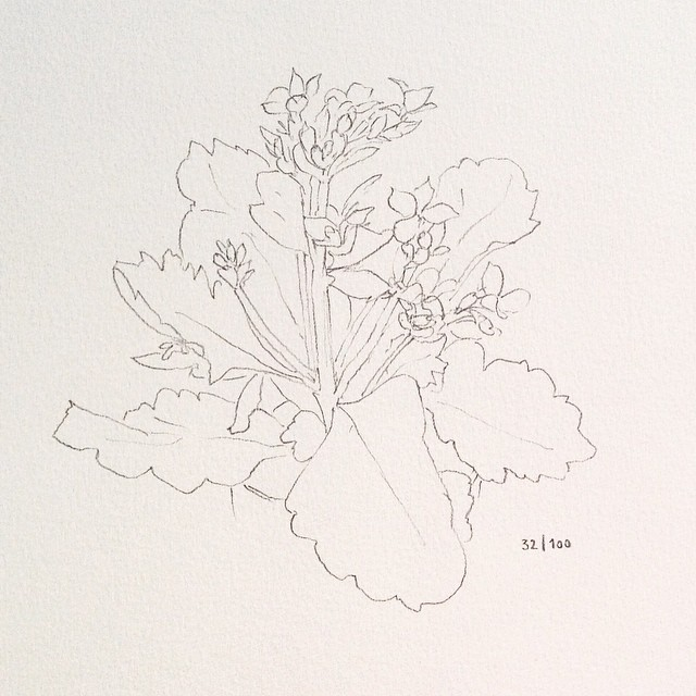 kalanchoe pencil drawing