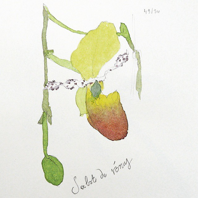sabot de venus orchid watercolor