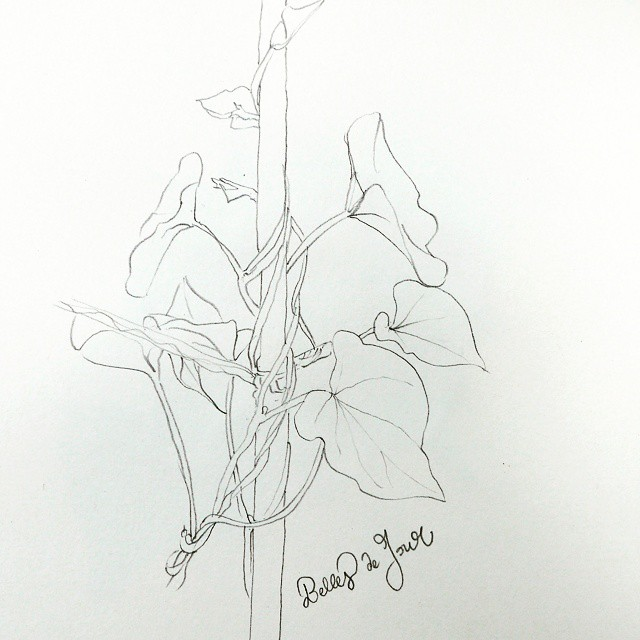 morning glory pencil drawing