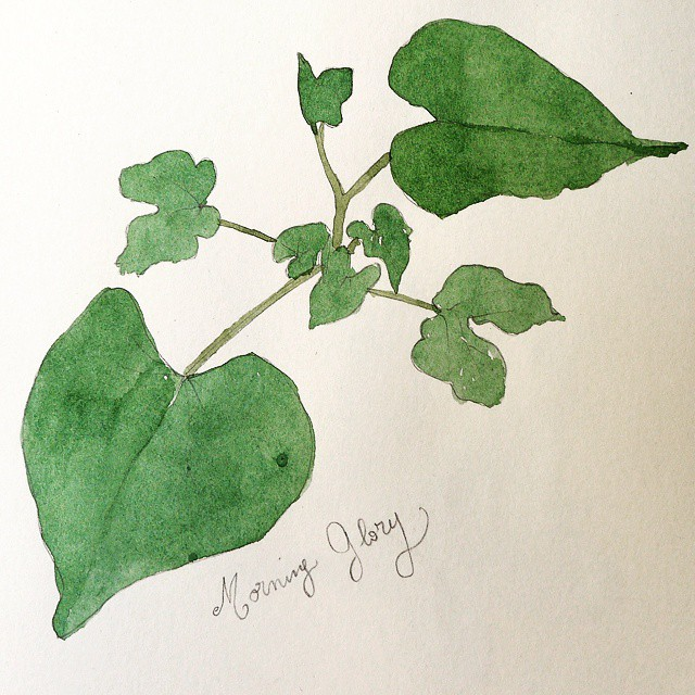 Morning glory leaves plain watercolor