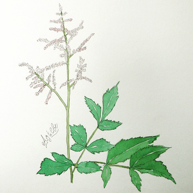 drawing watercolor astilbe
