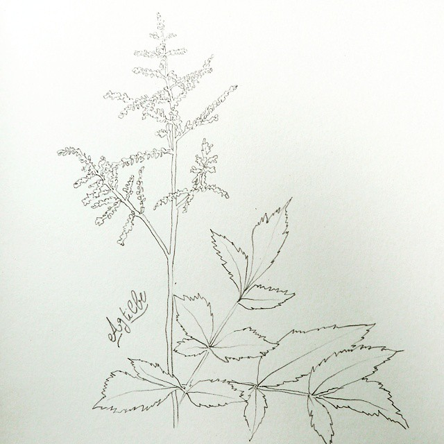 pencil drawing flower astilbe