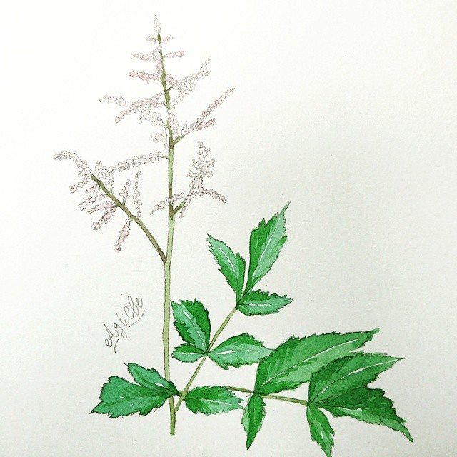 drawing watercolor flower astilbe