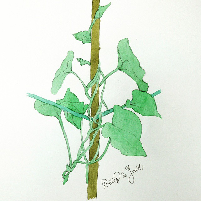 Morning glory plain watercolor