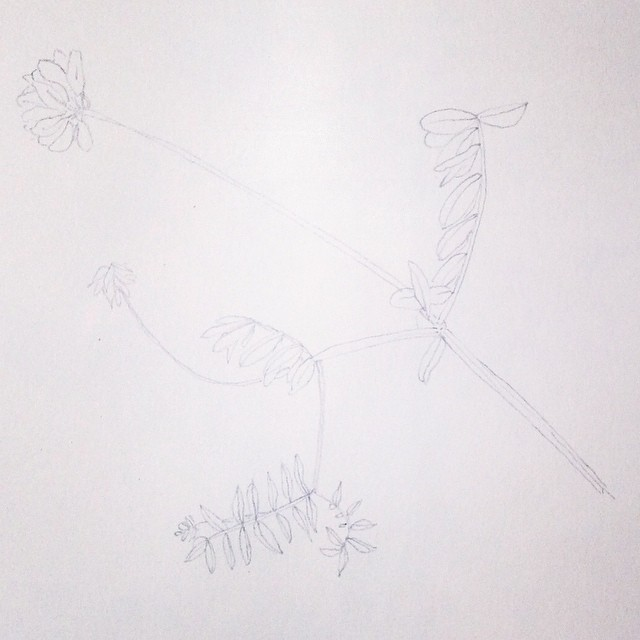 drawing pencil flower wild